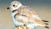 Jones Beach legal settlement provides safety for endangered birds