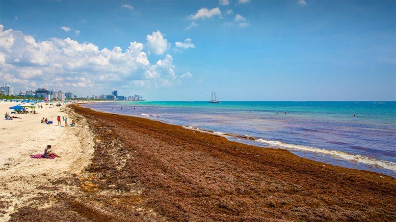 Miami Dade's Sargassum Seaweed Challenge – Miami's Community News